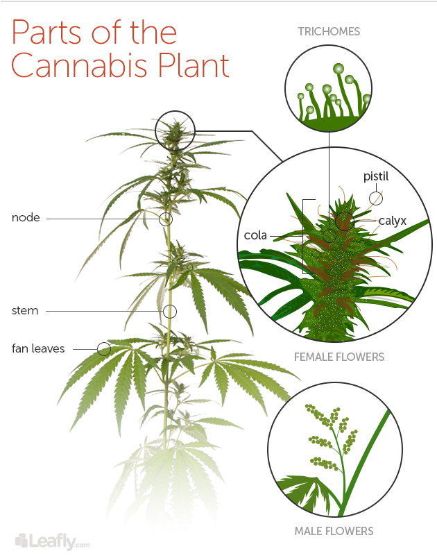 Cannabis Anatomy & Morphology: The Parts of the Cannabis Plant | The ...